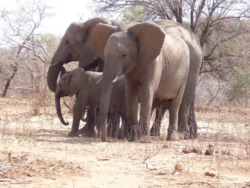 Elephant family in Kruger National Park.